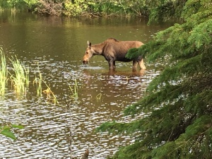 A cow moose eating and swimming in the Washington Creek at Isle Royale National Park, viewed from campsite 6. Photos by Jannet Walsh, jannetwalsh.com ©2016 Jannet Walsh. All Rights Reserved.